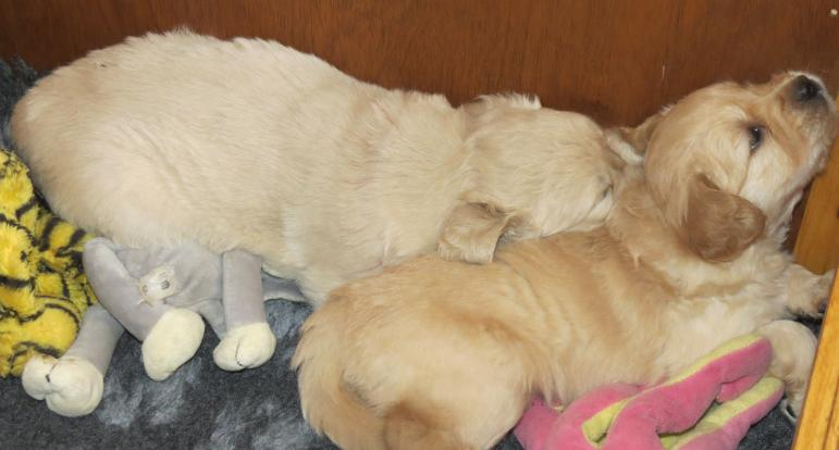 Bella's puppies asleep togethere