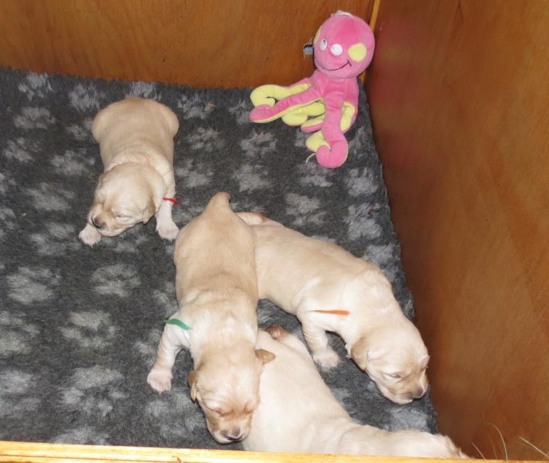 Elsa's puppies 2 weeks old