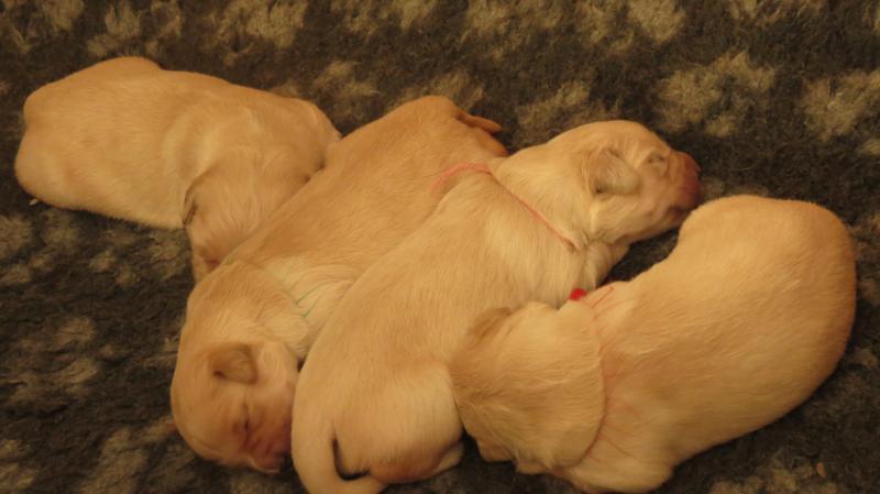elsa's pups 1 week old