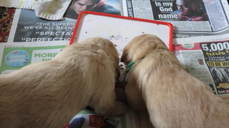 Two puppies feeding