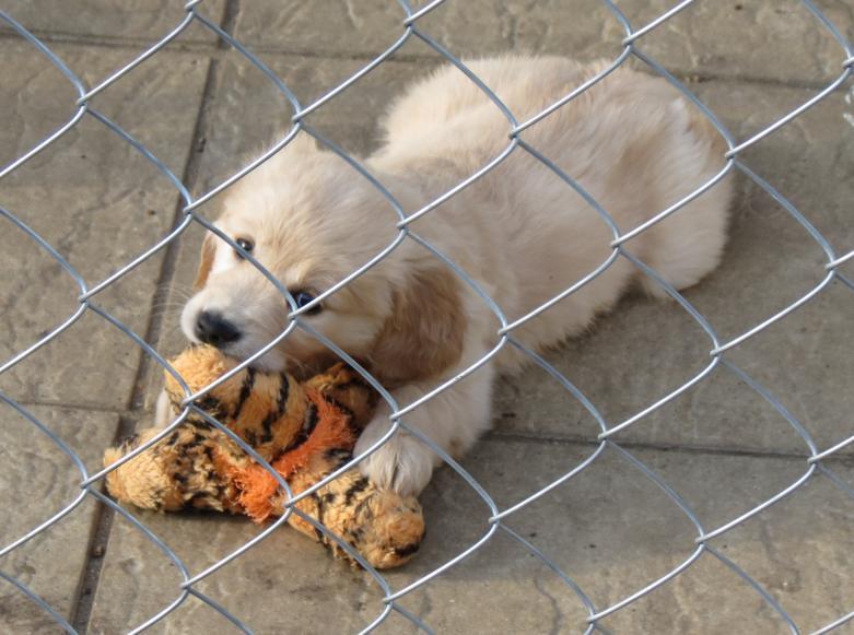 Puppy with a toy in garden