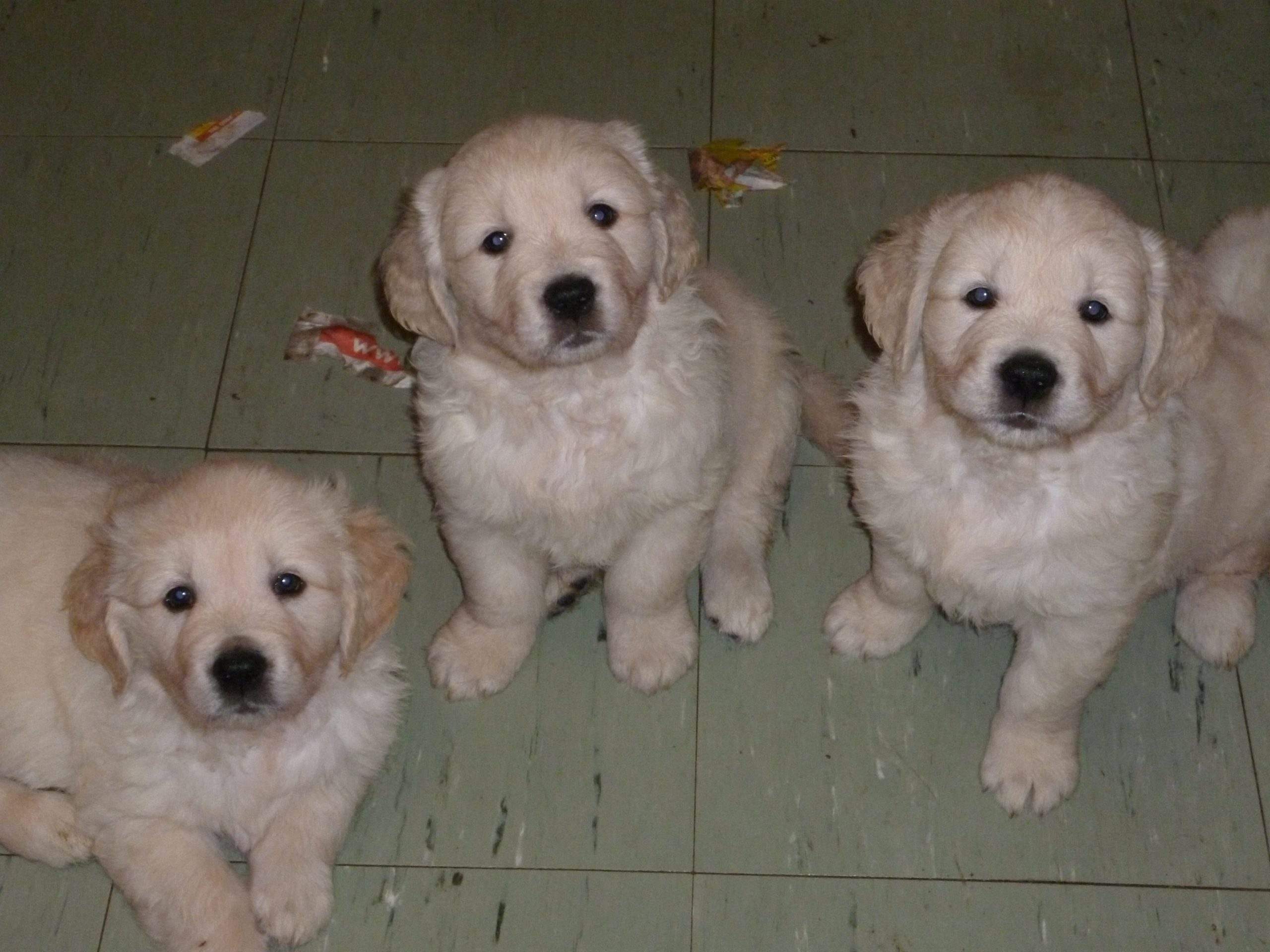 Three other puppies