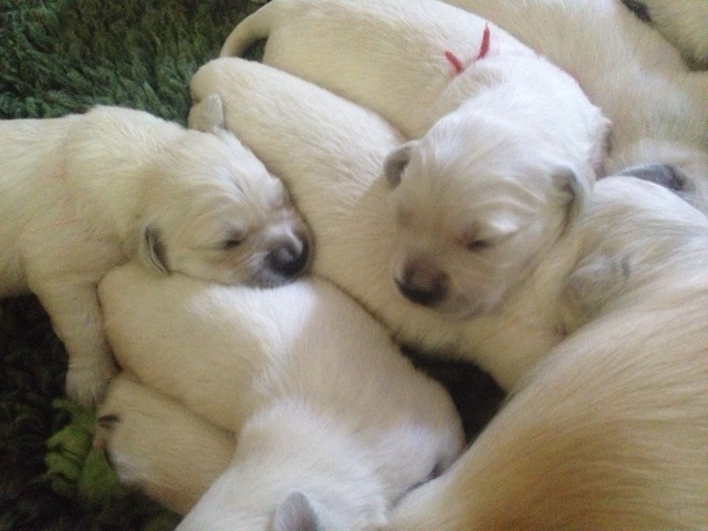 Sophie's pups 12 days old