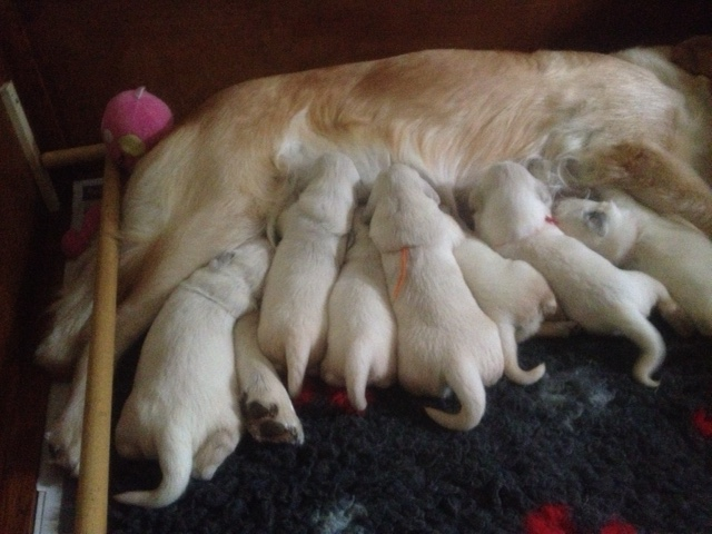 Sophie's pups 13 days old.