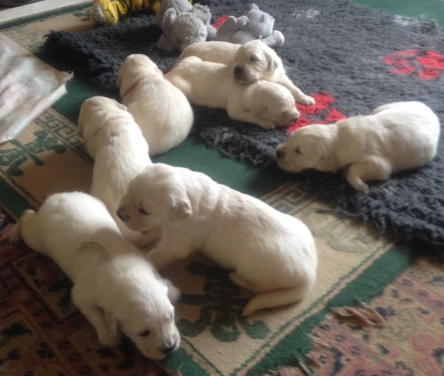 Sophie's pups 16 days old
